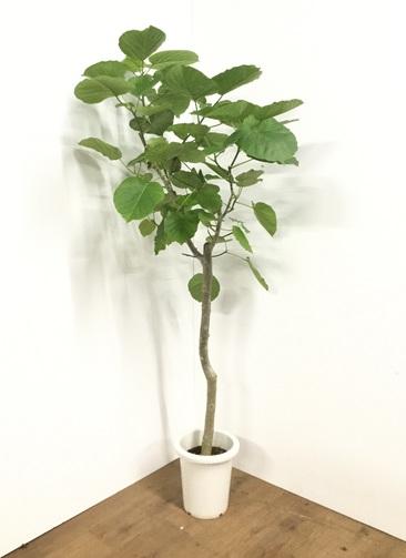 観葉植物 【170cm】フィカス ウンベラータ 8号 #21790