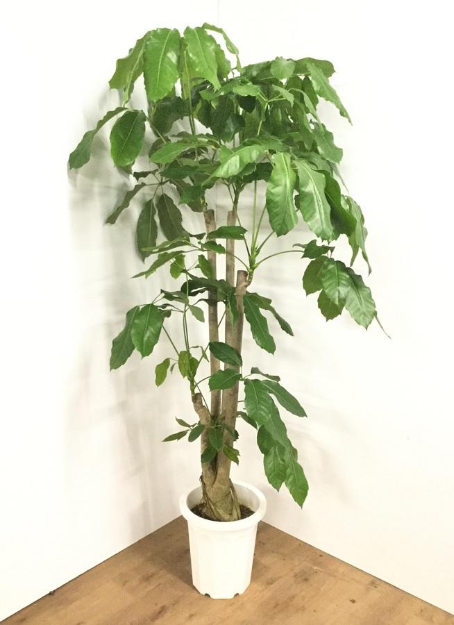 観葉植物 【190cm】ブラッサイア 10号 #21791 ※1都3県配送限定商品