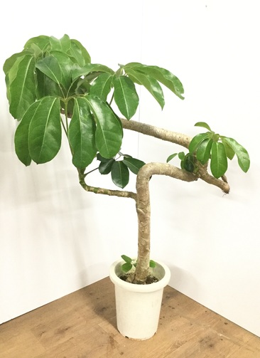 観葉植物 【110cm】ブラッサイア 8号 曲り #21792