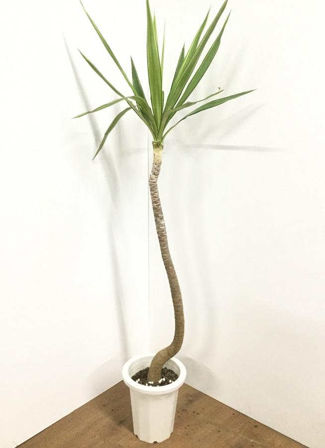 観葉植物 【160cm】ユッカ 8号 斑入り #21793