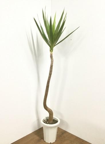 観葉植物 【160cm】ホワイトユッカ 8号 #21802