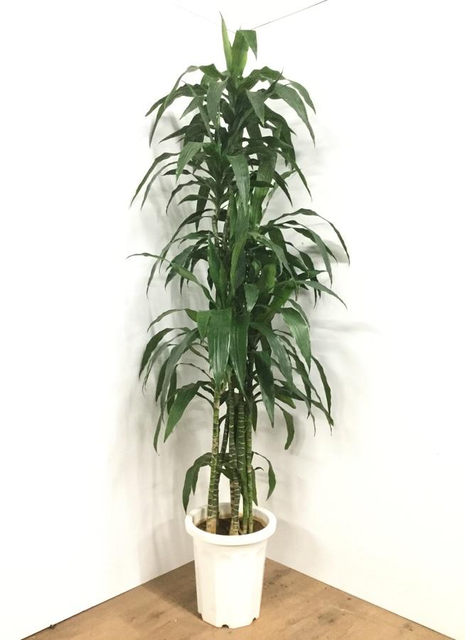 観葉植物 【210cm】ドラセナ ワーネッキー 10号 #21803 ※1都3県配送限定商品