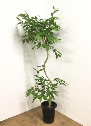 観葉植物 【160cm】アマゾンオリーブ (ムラサキフトモモ) 8号 #21804