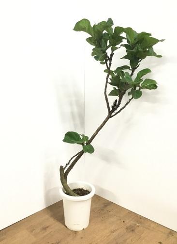観葉植物 【130cm】カシワバゴム 8号 #21805
