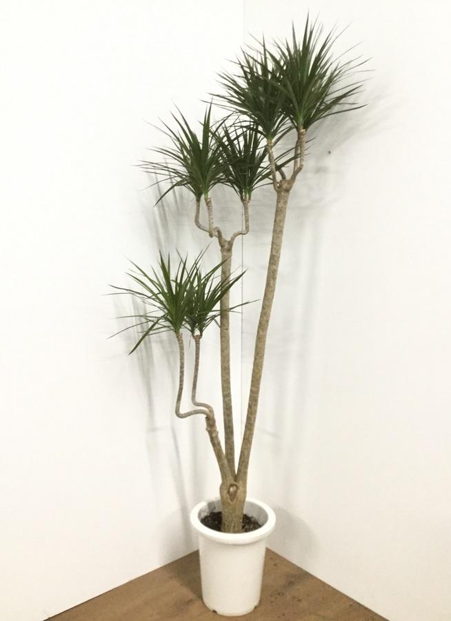 観葉植物 【155cm】ドラセナ コンシンネ 8号 曲り #21810