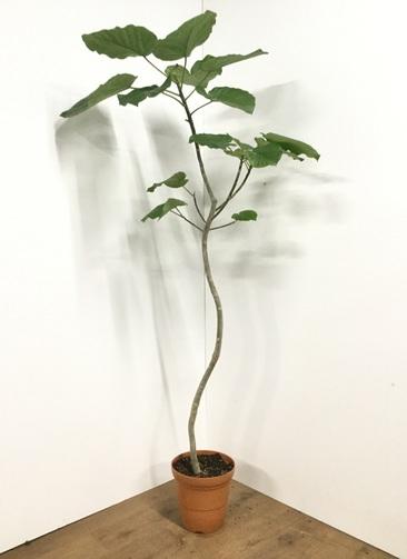 観葉植物 【170cm】フィカス ウンベラータ 8号 曲り #21811