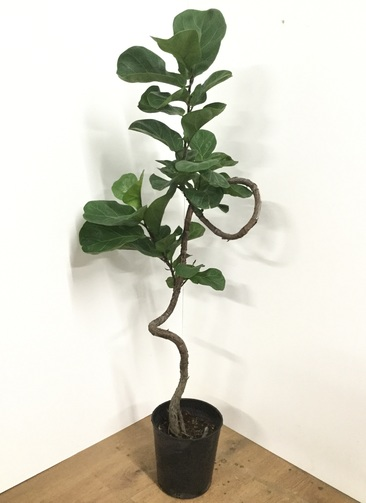 観葉植物 【125cm】カシワバゴム 7号 #21812