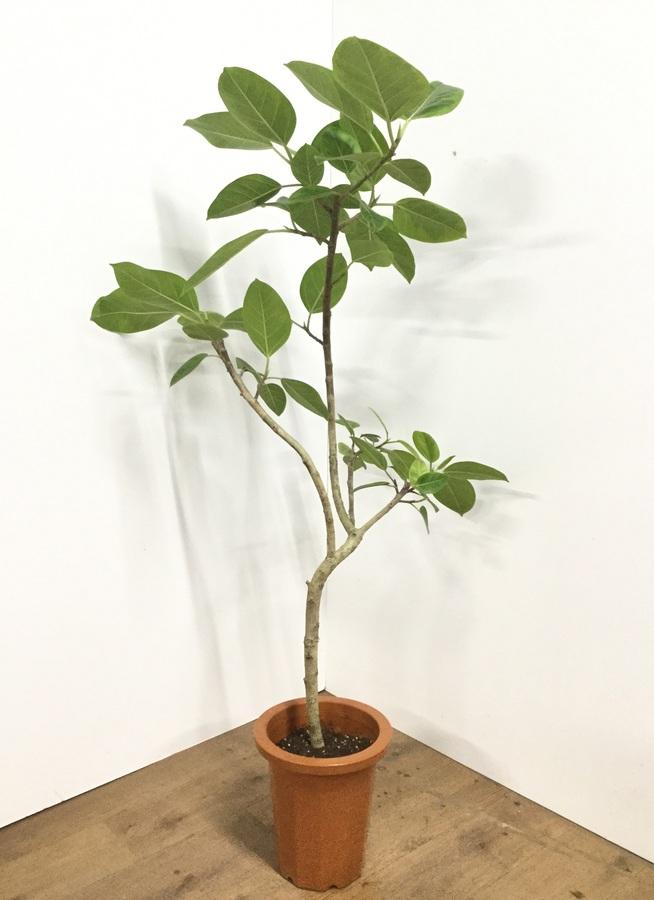 観葉植物 【140cm】フィカス アルテシーマ 8号 曲り #21815