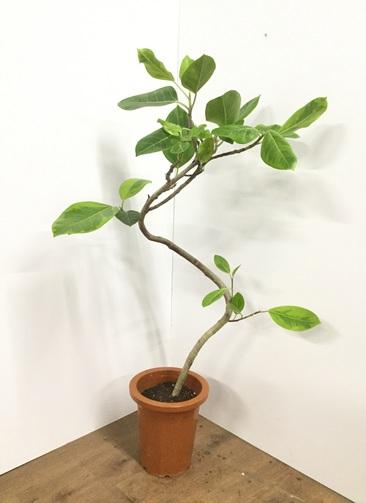 観葉植物 【120cm】フィカス アルテシーマ 8号 曲り #21817