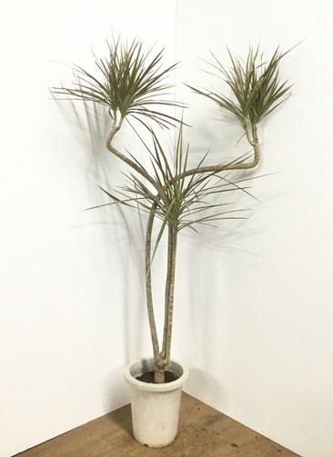 観葉植物 【150cm】 ドラセナ コンシンネ レインボー 8号 曲り #21820