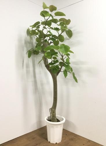 観葉植物 【190cm】フィカス ウンベラータ 10号 #21822 ※1都3県配送限定商品