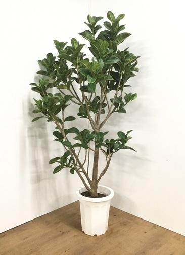 観葉植物 【175cm】フィカス エラスティカ (ゴムの木)  アポロ 10号 #21823