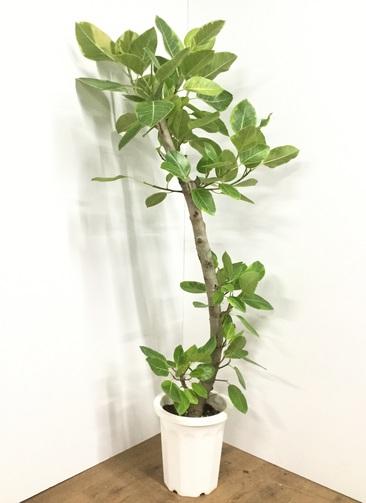 観葉植物 【180cm】 #21838 ※1都3県配送限定商品