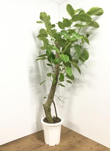 観葉植物 【190cm】フィカス アルテシーマ 10号 #21842 ※1都3県配送限定商品