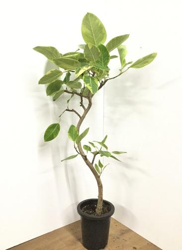 観葉植物 【140cm】フィカス アルテシーマ 8号 曲り #21847