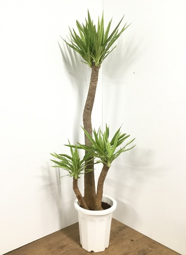 観葉植物 【170cm】ユッカ 10号 斑入り #21848