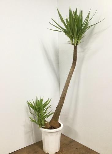 観葉植物 【175cm】ホワイトユッカ 10号 #21851