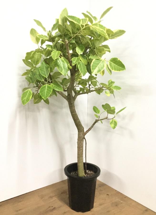 観葉植物 【160cm】フィカス アルテシーマ 10号 #21855