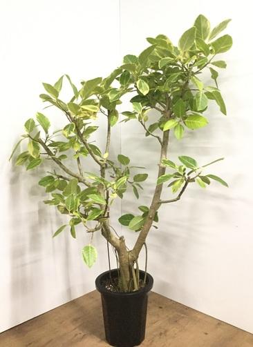 観葉植物 【160cm】フィカス アルテシーマ 10号 #21859 ※1都3県配送限定商品