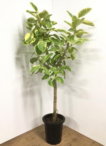 観葉植物 【190cm】フィカス アルテシーマ 10号 #21860 ※1都3県配送限定商品