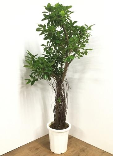 観葉植物 【170cm】ガジュマル 10号 #21861