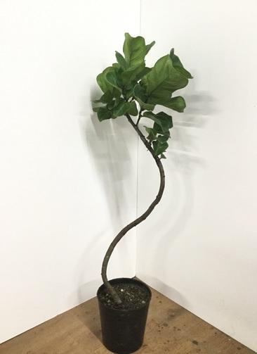 観葉植物 【115cm】カシワバゴム 7号 曲り #21865