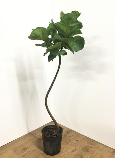 観葉植物 【120cm】カシワバゴム 7号 曲り #21866