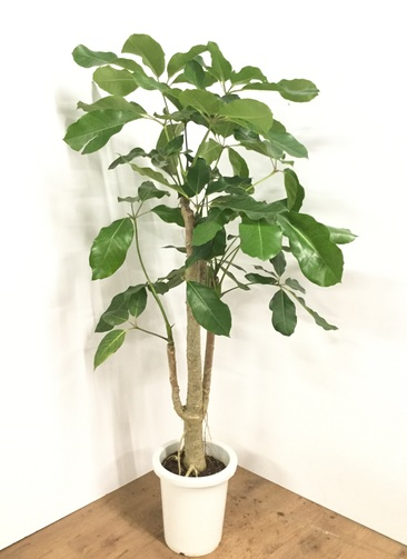 観葉植物 【140cm】ブラッサイア 8号 #21868
