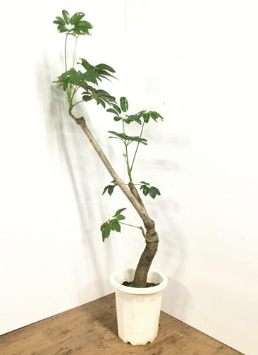 観葉植物 【170cm】ブラッサイア 10号 #21869