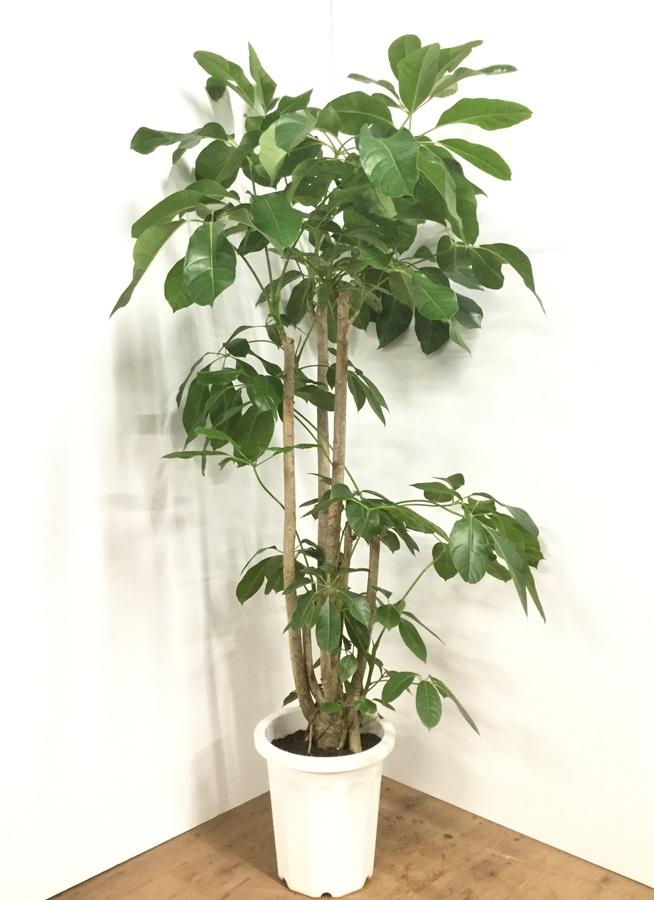 観葉植物 【190cm】ブラッサイア 10号 #21870 ※1都3県配送限定商品