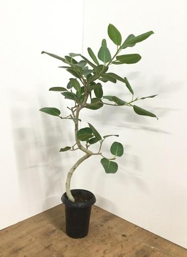 観葉植物 【100cm】フィカス ベンガレンシス 6号 曲り #21871