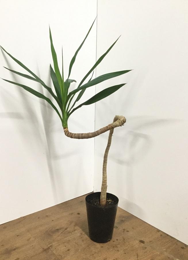 観葉植物 【90cm】ホワイトユッカ 曲り 6号 #21872