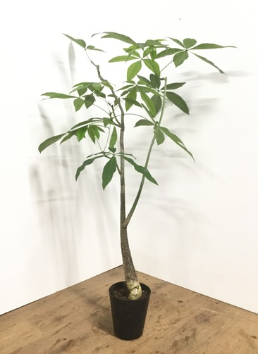 観葉植物 【110cm】パラソルパキラ 6号 #21873