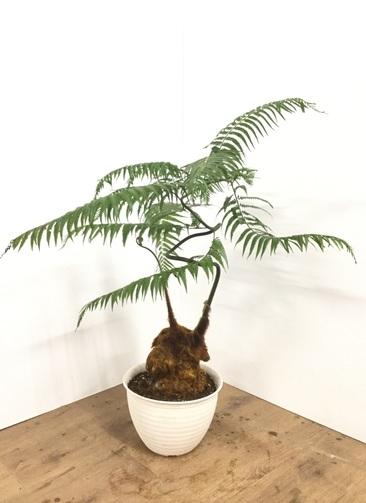 観葉植物 【75cm】ゴールデンモンキー(タカワラビ) 8号 #21874