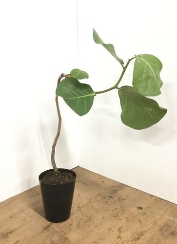 観葉植物 【70cm】シーグレープ (ハマベブドウ) 5号 曲り #21877