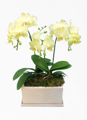 ミディ胡蝶蘭 黄色 3本立ち パルテノ鉢付き
