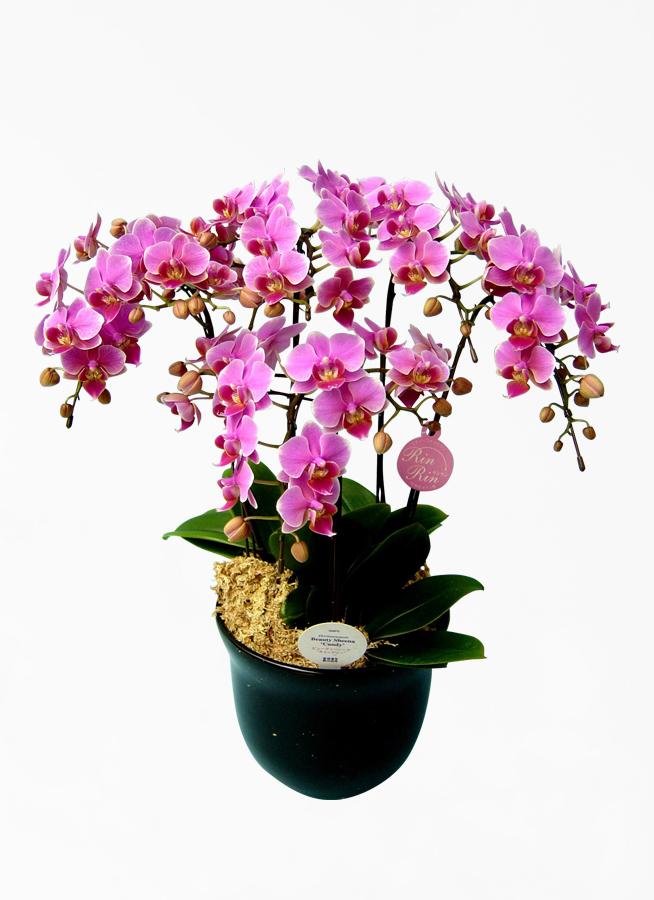 ミディ胡蝶蘭 紫 5本立ち