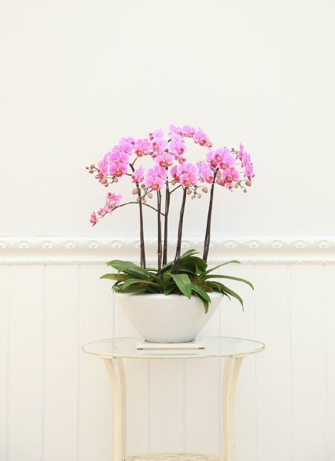 ミディ胡蝶蘭 ピンク 5本立ち 白平鉢付き