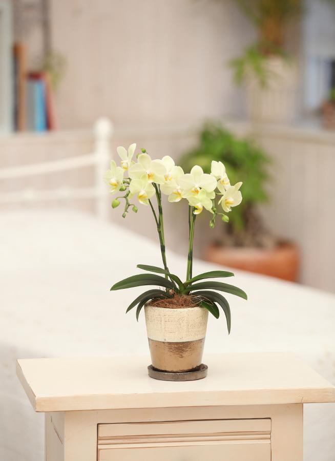 ミディ胡蝶蘭 黄色 2本立ち ゴールドクラック鉢付き