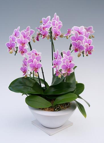 ミディ胡蝶蘭 ハワイアンマーメイド 5本立ち ビィーナスポット