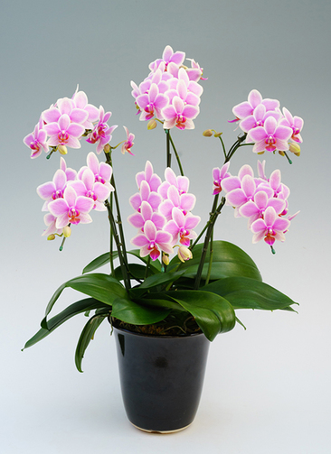 ミディ胡蝶蘭 ハワイアンマーメイド 6本立ち