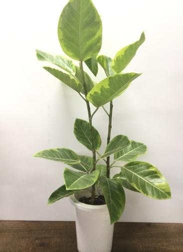 観葉植物 【95cm】フィカス アルテシーマ 7号 #21999