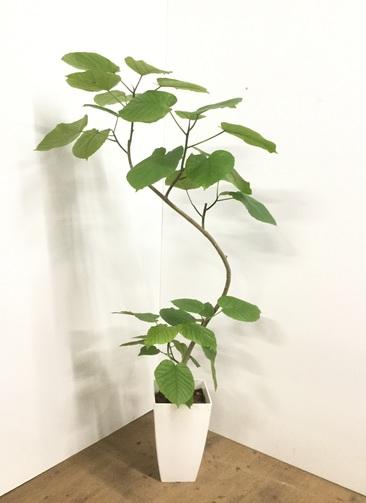 観葉植物 【130cm】フィカス ウンベラータ 8号 曲り 角鉢 #22001