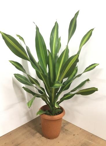 観葉植物 【110cm】ドラセナ バーリー 8号 #22002
