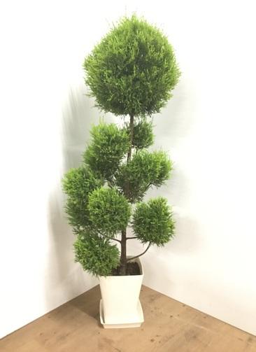 観葉植物 【140cm】ゴールドクレスト 8号 玉チラシ仕立て 角鉢 #22003