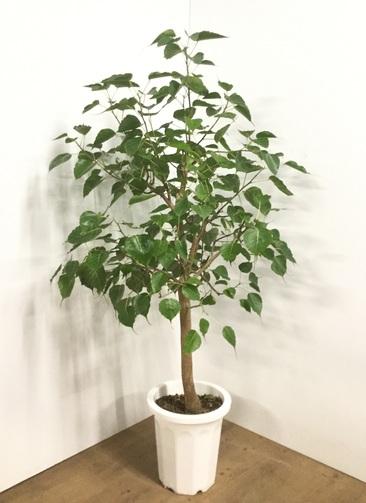観葉植物 【165cm】インドボダイジュ(フィカス・レリジオーサ) 10号 #22004