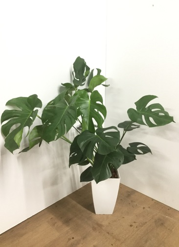 観葉植物 【100cm】モンステラ 8号 角鉢 #22005