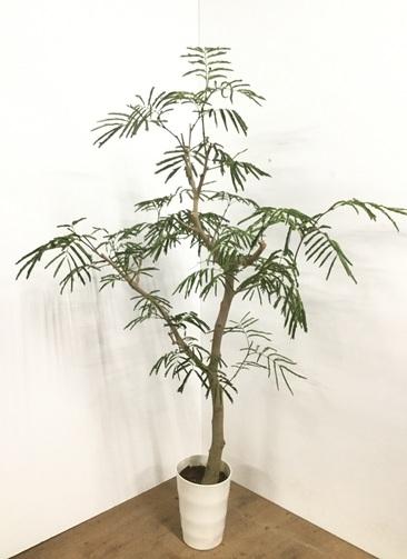 観葉植物 【155cm】エバーフレッシュ 8号 ボサ造り #22009