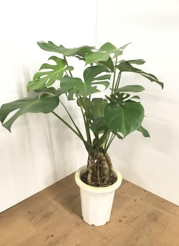 観葉植物 【90cm】モンステラ 8号 根上り #22011