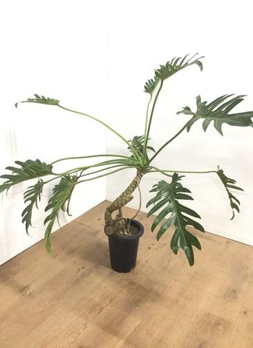 観葉植物 【95cm】クッカバラ 6号 根上り #22012